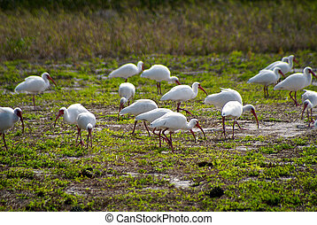 flock of white american ibis - a flock of white american...
