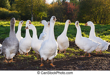 A flock of white geese