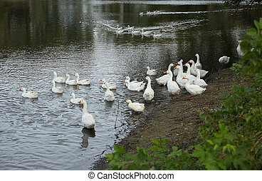white geese on the pond