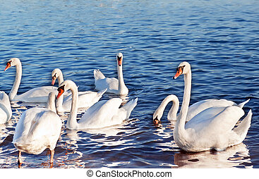 A flock of white swans in the river.