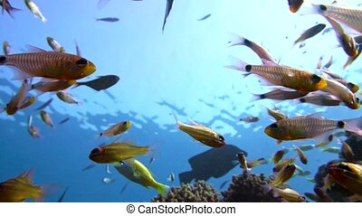 A flock of Yellowtail sweeper fish Pempheris schenckii in...