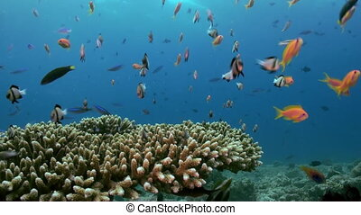 A flock School of tropical small multicolored fish on reef in search of food. in search of food. Amazing, beautiful underwater marine life world of sea creatures in Maldives. Scuba diving and tourism.