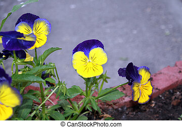 A flower bed of beautiful multi-colored flowers pansies.