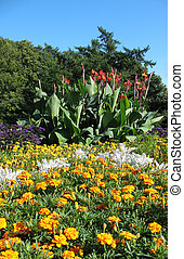 A flower bed of cannas garden (Sanna x generalis Bailey), heliotrope (Heliotropium peruvianum), Marigold (Tagetes) and Cineraria maritima