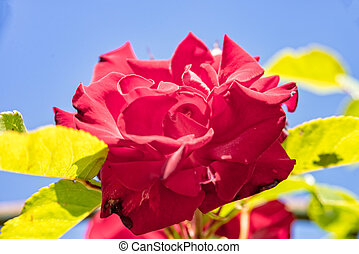 Flower of a red rose in the garden