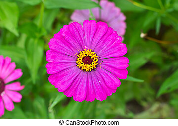 A flower zinnia of lilac color