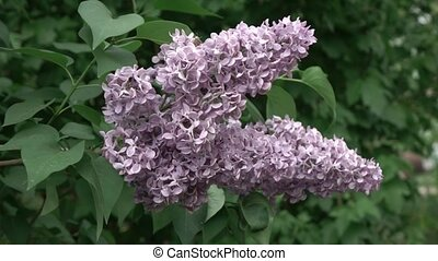 A flowering branch of a lilac of a flower on a bush. Slow...