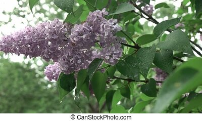 A flowering branch of a lilac of a flower on a bush with...
