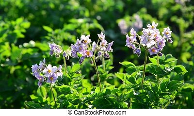 A Flowering potatoes in the summer day