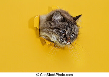 A fluffy cat looks out of a torn hole in the yellow paper.