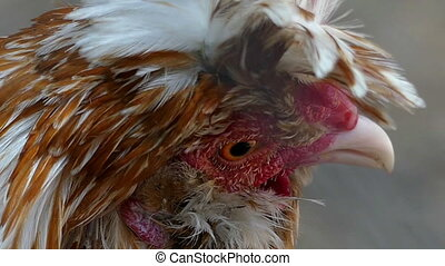 A fluffy multicolored hen looks at the world with sad eyes in slo-mo