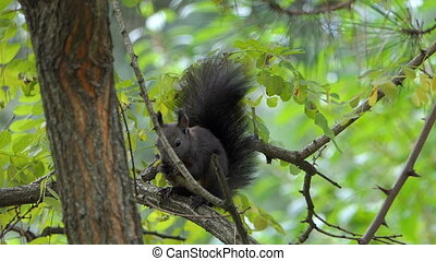 A fluffy squirrel eats some food on a tree branch in slo-mo