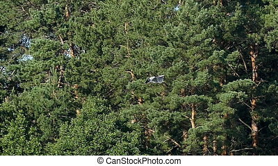 A flying black and white crane with pine tree in the...