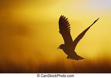 A flying black headed gull. Backlight. Single gull flying against yellow background . Black-headed Gull (Larus ridibundus)