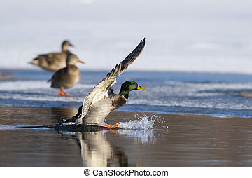 A flying Drake Mallard on winter day