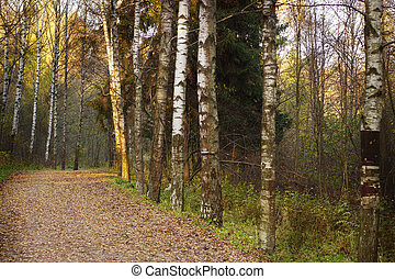 A footpath in a birch grove, an autumn landscape