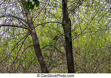 A forest bird in spring sits singing on a tree branch. Natural scene in the Park