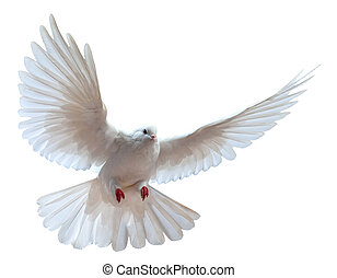 A free flying white dove isolated on a white background