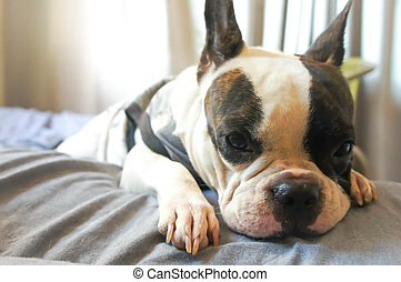 French bulldog in the bed