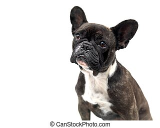 French Bulldog - A French Bulldog isolated against a white ...