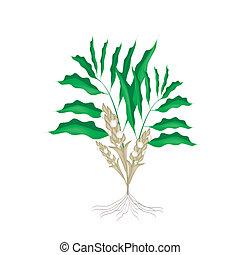 A Fresh Cardamon Plant on White Background
