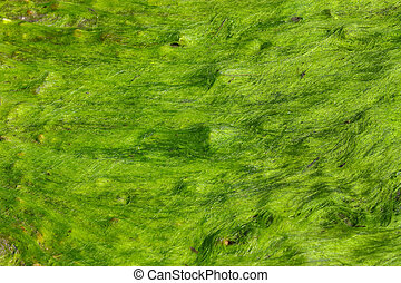 A fresh green sea moss also known as Irish moss or carrageen...