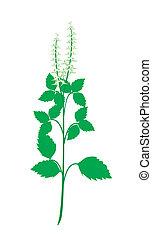 A Fresh Holy Basil Plant on White Background