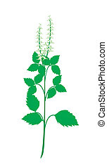 A Fresh Holy Basil Plant on White Background - Vegetable and...