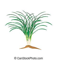 A Fresh Lemon Grass Plant on White Background - Vegetable...