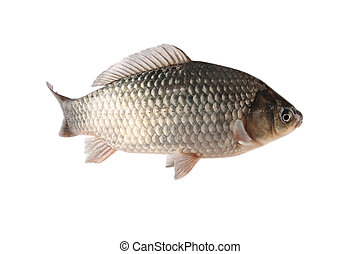 a freshwater crucian carp with white background