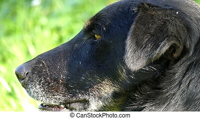 A friendly black dog lies on a green lawn on a sunny day in slo-mo