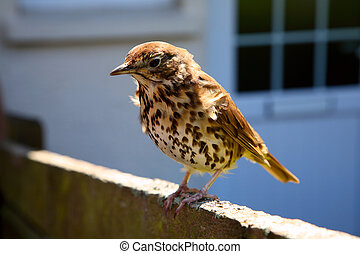 A friendly British thrush on a garden fence.