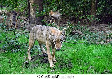 A friendly European grey wolf