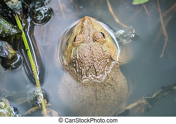a frog in the water