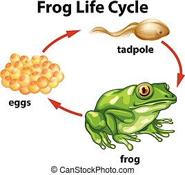 A Frog Life Cycle on White Background