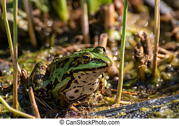 A frog sitting in the garden pond in summer