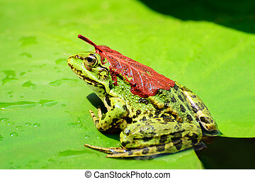 A frog with a red leaf on its back sits on a leaf of a water lily on a lake in the middle of a forest on a warm, sunny summer day II