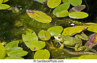 frogs in a pond enjoying full of green leaves