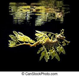 a, frondoso, seadragon, phycodurus, eques