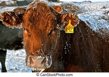 A Frosted over Inquisitive Beef Cow - The cold temperatures ...