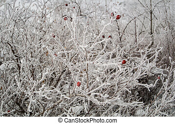 A frozen briar bush covered with white snow in sunny winter day in Armenia.
