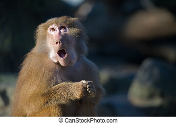a funny baboon monkey looking surprised