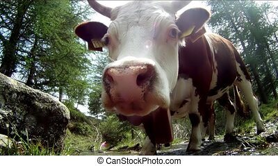 a funny cow