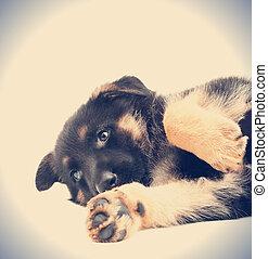 funny German Shepherd puppy