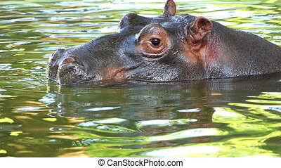 a Funny Hippopotamus Swims And Dives in a Pond in Summer in Slow Motion