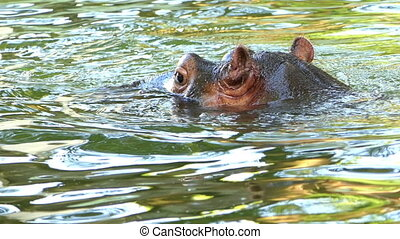 a Funny Hippopotamus Swims in a Pond on a Sunny Day in Summer
