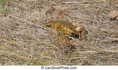 A funny lively crayfish crawls backwards in the dry grass on the lake.