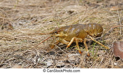 A funny lively crayfish crawls in the dry grass on the lake.