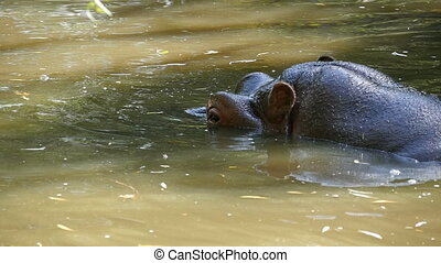 A close-up view of a gigantic brown hippo who sits and swims slowly in a pond happily looking around in summer in slow motion. Lazily he raises his nostrils out of water