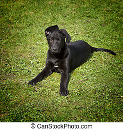 A funny young black labrador retriever in the green grass outdoors